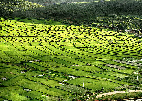 Chinese Rice Paddy Field in late afternoon light by Donna Caplinger