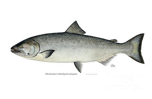 Chinook salmon by Emily Damstra