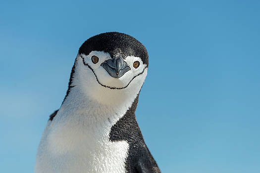 Chinstrap penguin by Alexey Seafarer