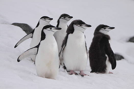 Chinstrap Penguins by Bruce J Robinson