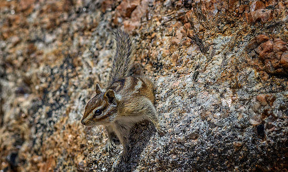Ray Van Gundy - Chipmunk in Black Hills