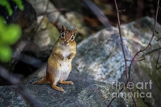 Chipmunk standing up by Claudia M Photography
