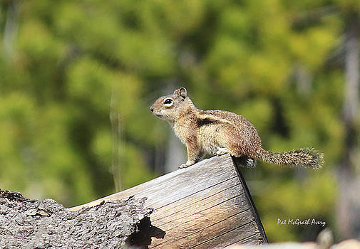Chipmunk sunning by Pat McGrath Avery