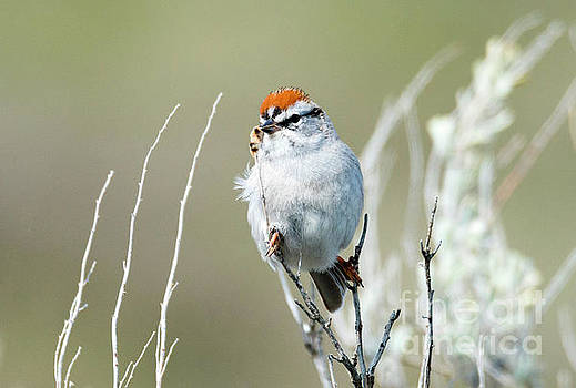 Chipping Sparrow by Mike Dawson