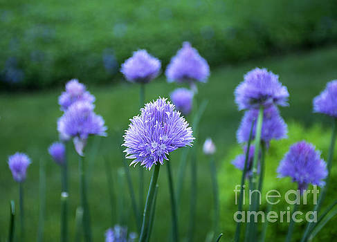 Chive Among Friends by Robin Gayl