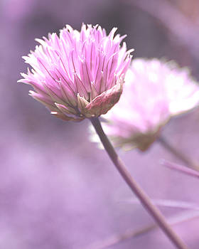 Bamalam  Photography - Chive Flowers