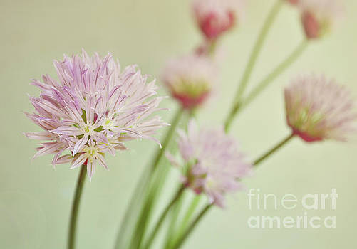 Chives in flower by Lyn Randle