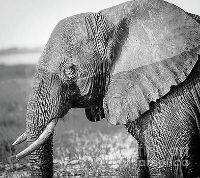Tim Hester - Chobe National Park Elephant Black And White