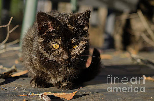 Chocolate The Stray Kitten by Melissa Fague