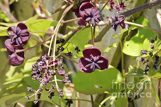 Chocolate Vine by Terri Waters