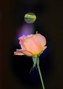 Choice Rose by Robbie L Rogers