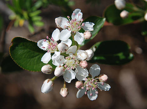 Chokeberry blossom by Lisa Gabrius