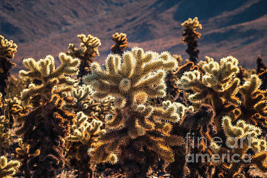 Cholla Cactus #3 Joshua Tree National Park by Blake Webster