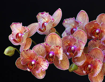 Chrissys Orchid by Mark Wiley