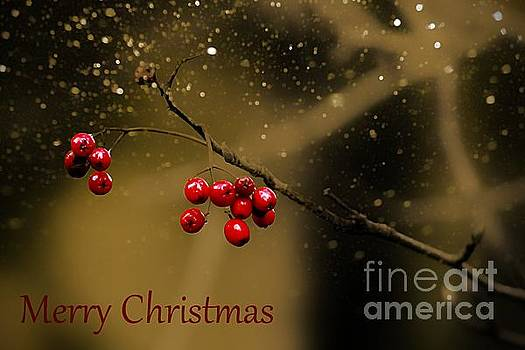 Christmas Berries by Clare Bevan
