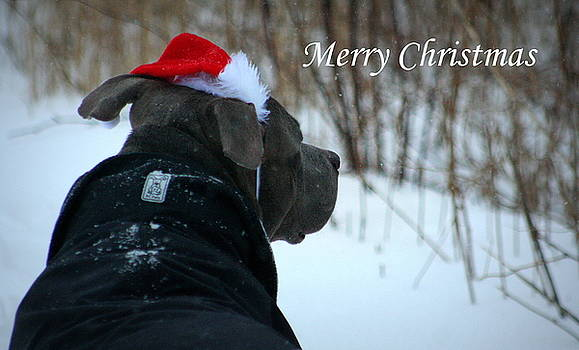 Christmas Card Pit Bull  by Sue Long
