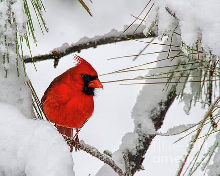 Barbara Bowen - Christmas Cardinal