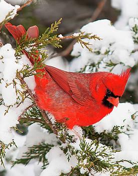 Christmas Cardinal by Ron  McGinnis
