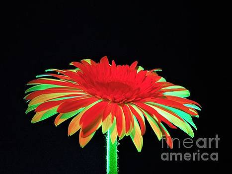 Christmas Daisy by Chad and Stacey Hall