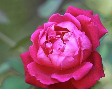 Christmas Rose by Terri Tiffany