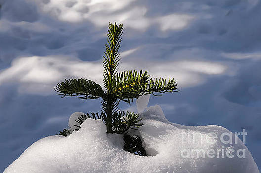 Bob Phillips - Christmas Tree Future