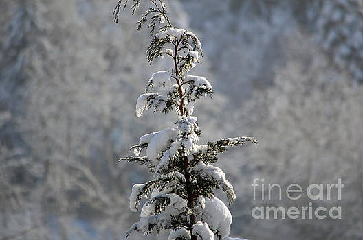Christmas Tree in Snow - Winter in Switzerland by Susanne Van Hulst