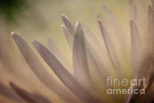 Chrysanthemum 02 by Pamela Moran