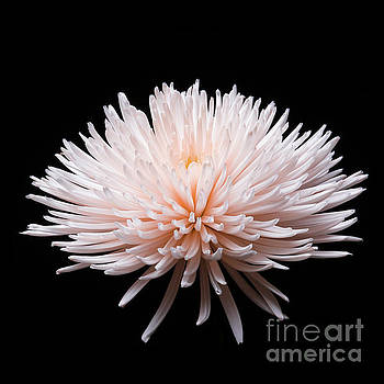Chrysanthemum #0203   by David Perry Lawrence