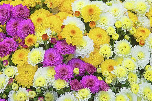 Regina Geoghan - Chrysanthemum Cheer