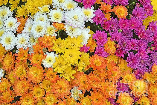 Regina Geoghan - Chrysanthemum Display