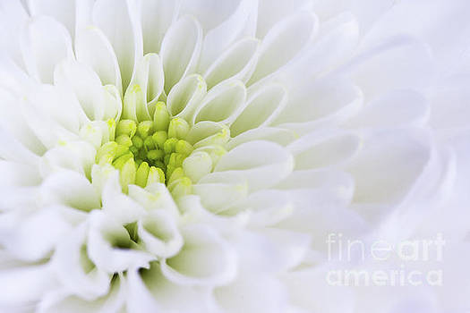 Chrysanthemum by Tanya C Smith