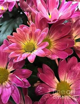 Chrysanthemums by Heather McFarlane-Watson