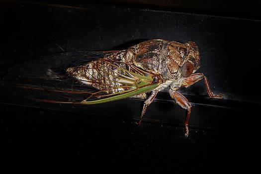 Cicadas by Judy Hall-Folde