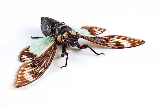 Cicadidae Sp Cicada by Nicolas Raymond