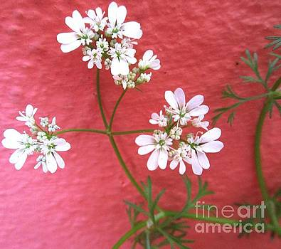 Cilantro Flowers And Red Wall by Trudy Brodkin Storace