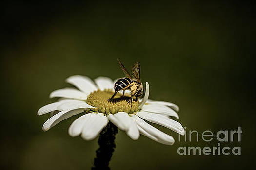 Cinamatic Honey Bee by Petrus Bester