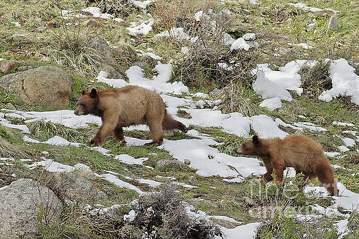Cinnamon Black Bear and Her Cub by Natural Focal Point Photography