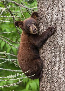 Randall Nyhof - Cinnamon colored Black Bear Cub