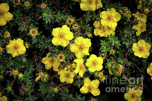 Jon Burch Photography - Cinquefoil