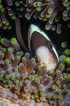 Clarks Anemone Fish by J Gregory Sherman