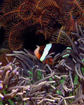 Clark's Anemonefish, Indonesia 2 by Pauline Walsh Jacobson