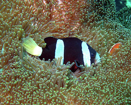 Clark's Anemonefish, Indonesia by Pauline Walsh Jacobson
