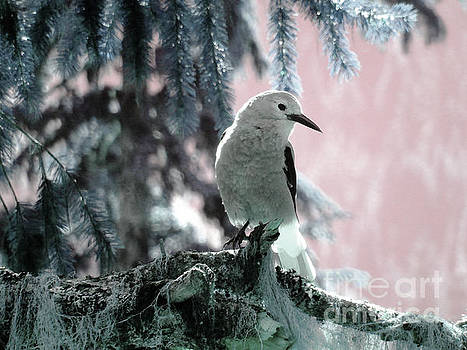 Clark's Nutcracker by Ann Johndro-Collins
