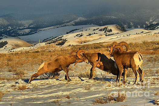 Adam Jewell - Grand Teton Bighorn Brawlers