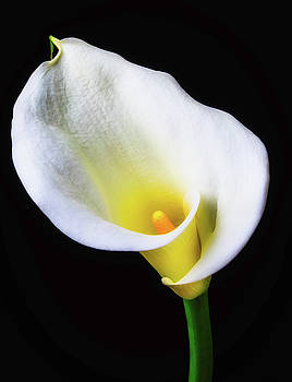 Classic Calla Lily by Garry Gay