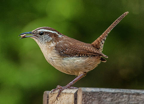 Classic Carolina Wren by Jim Moore