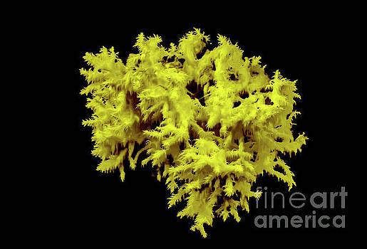 Clavulina cristata yellow rendering by Jeffery Johnson