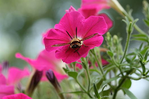 Clearwing Hummingbird Moth at Work in Patch of Petunias by Bonnie Boden