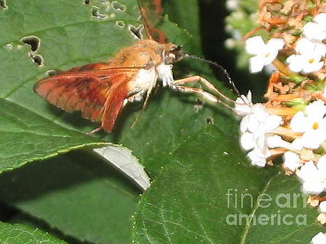 Clearwing Moth by Iris Newman
