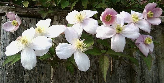 Clematis 1046 by Julia Woodman